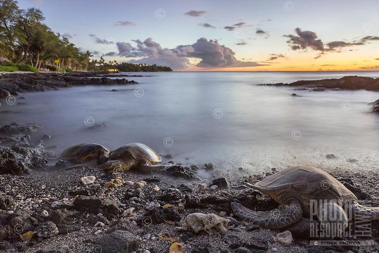 At sunset, three Hawaiian green sea turtles (or honu) sleep on the beach for the night in Puako, Big Island.