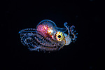 Male Blanket octopus larva, holding cnidarian tentacles as weapons, <br /> Tremoctopus violaceus, Atlantic ocean, ID Michael Vecchione