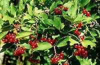 Gemeiner Schneeball, Gewöhnlicher Schneeball, Früchte, Viburnum opulus, European Cranberrybus, Guelder Rose