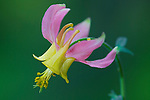 The petals of the Yellow Columbine wildflower turning pink after the peak bloom
