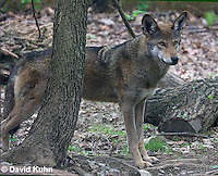0503-0904  Critically Endangered Red Wolf, Canis rufus (syn. Canis niger)  © David Kuhn/Dwight Kuhn Photography