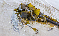 A fine art detail of green kelp and stalk, washed ashore, with surf surrounding its leaves and stipe.  The kelp will lie on the beach for a long time, furnishing habitat for small tidal creatures.