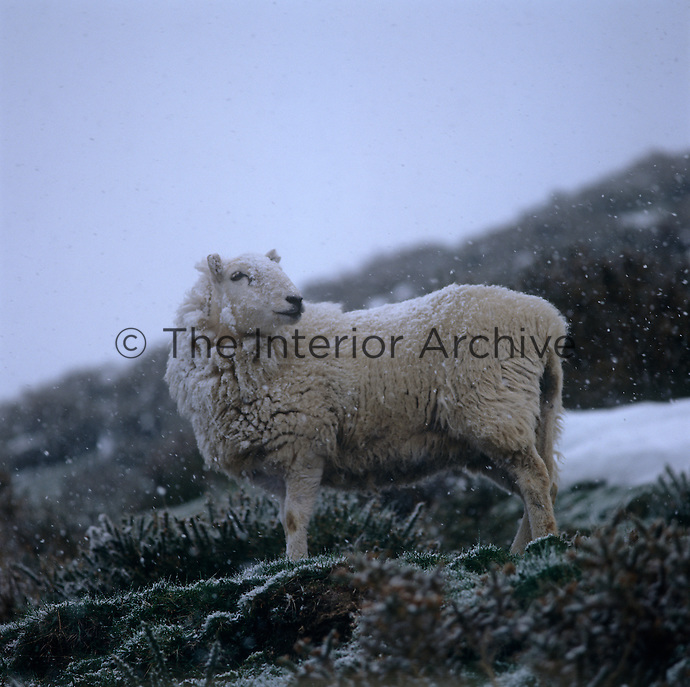 In the harsh winter weather a Welsh mountain sheep surveys her domain
