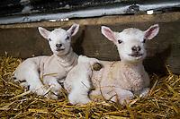 New born lambs - March