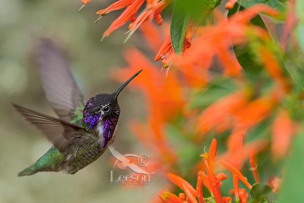 Male Costa's Hummingbird (Calypte costae) feeding on mexican firecracker flowers.  California