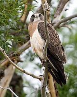 Swainson Hawk, Buteo swainsoni, Colorado