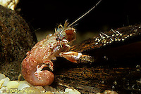 1Y30-022b  Acadian Hermit Crab - without shell, hunting for shellPagurus acadianus