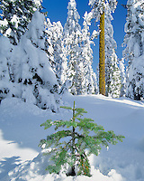 New snow on forest in Rogue River National Forest near top of Mt Ashland Oregon