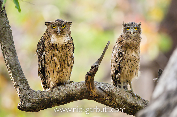 Adult Brown Fish Owl (Ketupa zeylonensis) with partially fledged chick. Bandhavgarh NP, India.