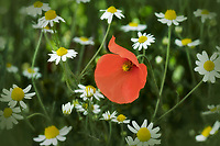 Red Poppy in field of daisies. The Palouse, Washington