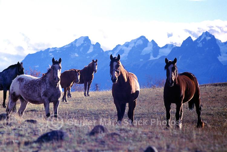 Herd of Free Roaming Wild Horses standing in Field, Cariboo Chilcotin Coast Region, BC, British Columbia, Canada