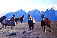 Herd of Free Roaming Wild Horses standing in Field, Cariboo Chilcotin Coast Region, BC, British Columbia, Canada