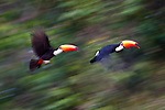 Pair of Toco Toucans (Ramphastos toco) (Family Ramphastidae) taking flight from the forest canopy. Banks of the Cuiaba River, northern Pantanal, Mato Grosso, Brazil.