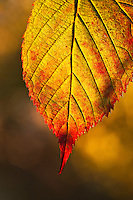 Autumn leaf detail.