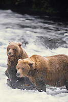 Alaskan brown bear or coastal grizzly sow & cub fishing for salmon, Katmai National Park, AK.  Fall.