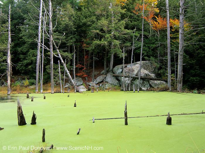 Green Algae (pond scum) in Pawtuckaway State Park in Nottingham, New Hampshire USA