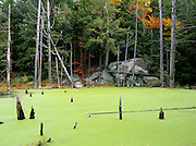 Green Algae (pond scum) in Pawtuckaway State Park in Nottingham, New Hampshire USA