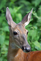 A doah eyed deer.