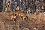 White-tailed deer in spring