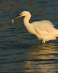 Snowy Egret with Prey at Sunrise Sanibel Island Florida