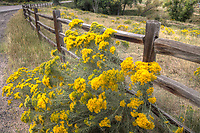A wood rail fence borders a field of flowering rabbitbrush.