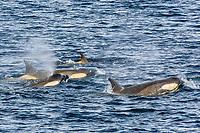 killer whale or orca, Orcinus orca, Type B orca, Gerlache Strait, Antarctica, Southern Ocean