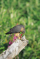 Merlin tears apart and eats a small bird while perched on dead tree stump in Denali National Park, Alaska