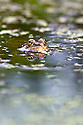 Marsh frog in pond {Rana ridibunda} Surrey, UK. Captive.