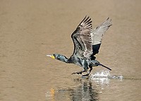 Double-crested Cormorant, Phalacrocorax auritus, takes flight from Upper Klamath Lake, near Klamath Falls, Oregon