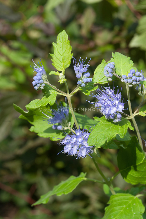 Caryopteris Sunshine Blue in bloom in September glarden