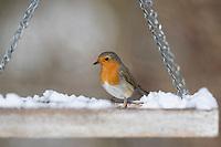 Rotkehlchen, an einem Futtertisch mit Körnerfutter, Vogelfütterung, Winterfütterung, Erithacus rubecula, robin, European robin, robin redbreast, feeding birds, Le Rouge-gorge familier