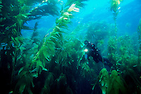 A diver explores a forest of Giant Kelp, Macrocystis pyrifera, California, Pacific Ocean