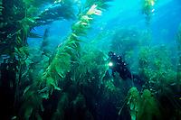 A diver explores a forest of Giant Kelp, Macrocystis pyrifera, California, Pacific Ocean