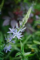 Camassia leichtlinii 'Magdalen'