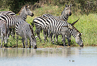 Grant's Zebras, Equus quagga boehmi, drink from a pond in Tarangire National Park, Tanzania. An Egyptian Goose, Alopochen aegyptiacus, flies in front of them.