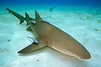 Lemon Shark, Negaprion brevirostris, with Sharksuckers, Echeneis naucrates, West End, Grand Bahama, Bahamas, Caribbean, Atlantic Ocean