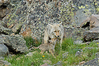 Wild Coyotes (Canis latrans)--mother with young pup.  Western U.S., June.