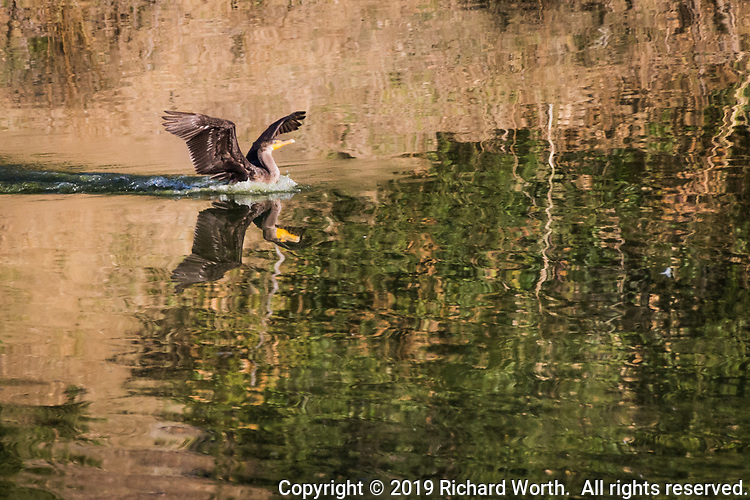 A Double-crested cormorant, and its reflection, come in for a splash landing at a lake in the hills east of San Francisco Bay.