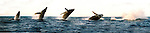 The Humpback Whale breaches off the Maui Coastline in the AuAu Channel on February 19,2005.Sequence photos 1- 5.© Debbie VanStory/RockinExposures.