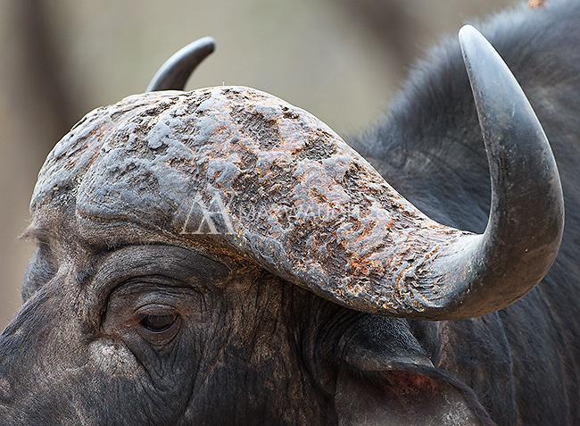 Cape buffalo at MalaMala.