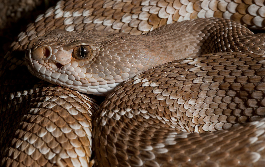 Red Diamond Rattlesnake<br /> Crotalus ruber<br /> Similar to Western Diamondback, but prettier and less ought-tempered. It took me forever to find one, now they seem to be everywhere.