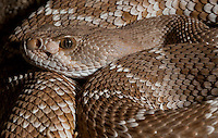 Red Diamond Rattlesnake<br />
