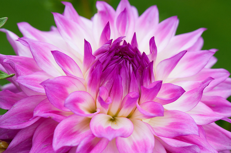 Dahlia 'Ace Summer Emotions', mid August.