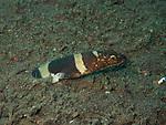 Napoleon snake eel, Bali, Indonesia 2018