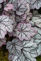 Heuchera 'Sugar Plum' foliage