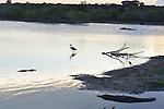 Yala National Park Sri LankaYala National Park Sri Lanka<br /> Great Egret, Wild Boar, Grey Heron, Indian Pond Heron and Crocodile