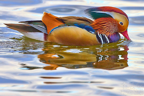 Mandarin Duck Drake on Lake, Kirkland, Washington