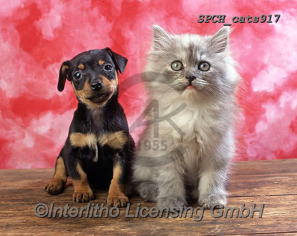 Xavier, ANIMALS, REALISTISCHE TIERE, ANIMALES REALISTICOS, cats, photos+++++,SPCHCATS917,#a#, EVERYDAY