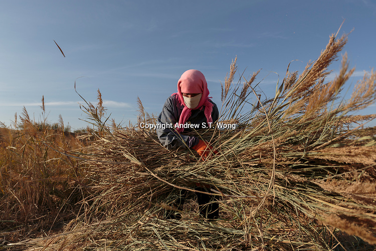 A local farmer, who are practising eco-agriculture, collects reed as winter feed for his cattle in Alxa Left Banner, Inner Mongolia, China, October 2017.