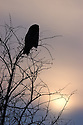 00830-048.19 Great Grey Owl is silhouetted by low winter sun as it is perched in bare tree.   Predator, raptor, bird of prey.  V3R1